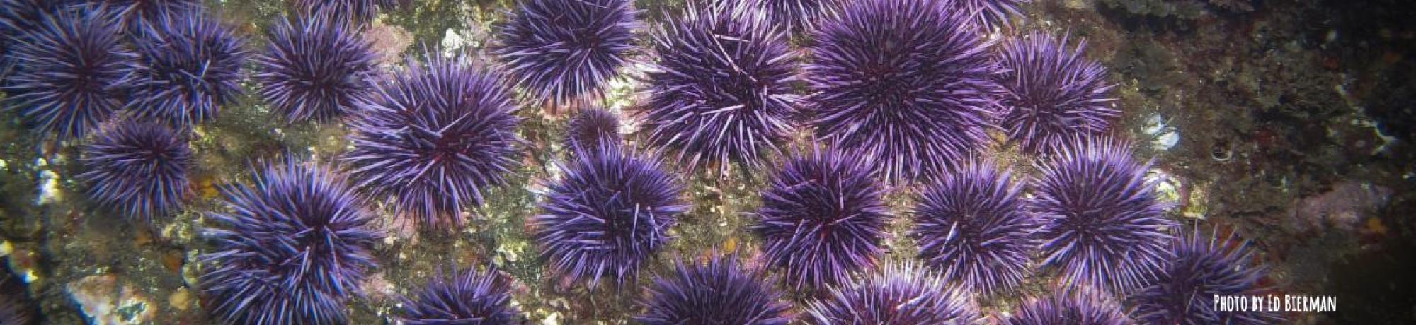 Native CA purple sea urchins on rock
